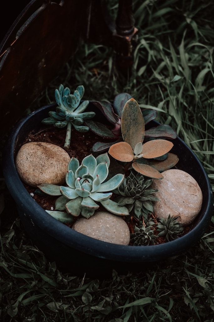 can succulents live outside