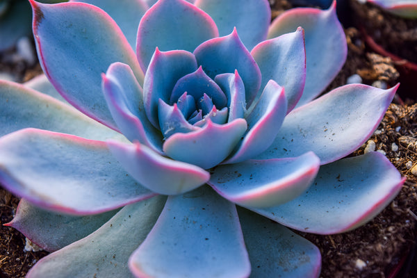 the best place to buy succulents online