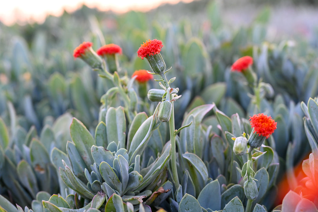 africa's succulent side