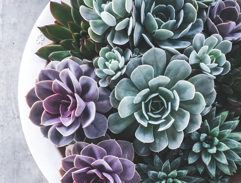 how to revive your succulent