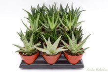 Aloe Set - 4 Inch Containers