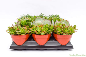 Crassula Set - 4 Inch Containers