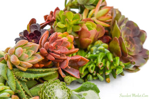 Assorted Succulent Cuttings 20 Pack