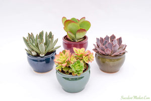 Assorted High Light Succulents - 4 Inch Glazed Pots - 4 Pack