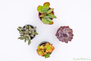 Colorful Succulents - Assorted 4 Inch Glazed Pots - 4 Pack