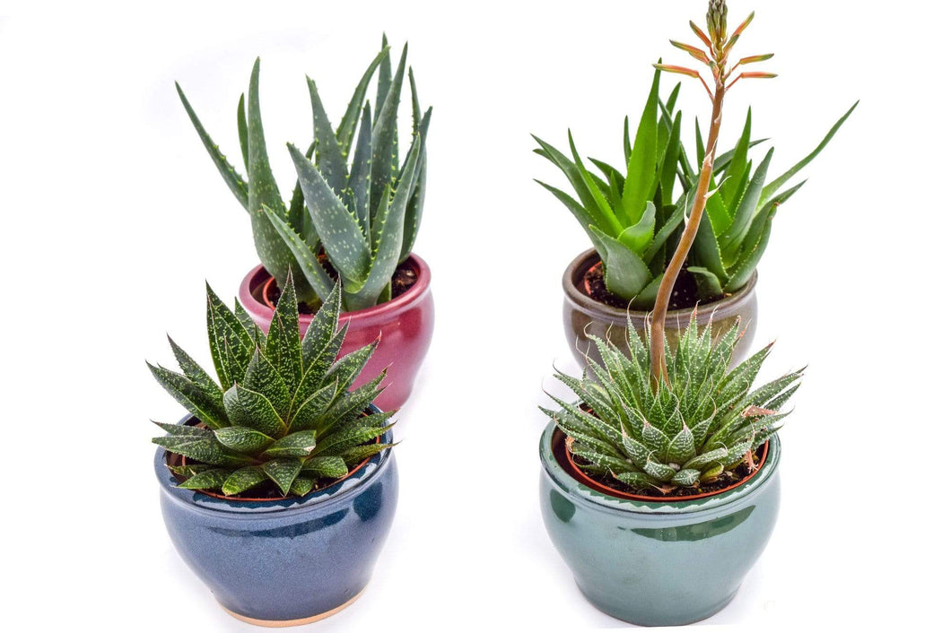 Assorted Low Light Succulents - 4 Inch Glazed Pots - 4 Pack