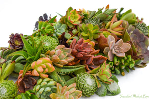 Assorted Succulent Cuttings 50 Pack