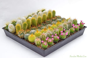 Cactus - Assorted 2 inch containers