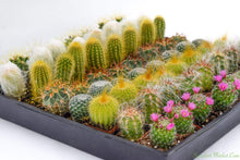 Assorted Cactus - 2 inch containers