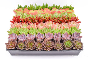 Assorted High Light Succulents - 2 Inch Containers 64 Pack
