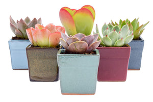 Colorful Succulents - Assorted 2 Inch Glazed Pots - 6 Pack