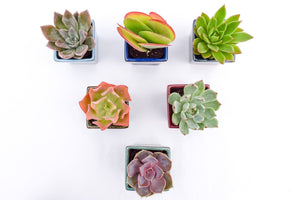 Assorted High Light Succulents - 2 Inch Glazed Pots - 6 Pack