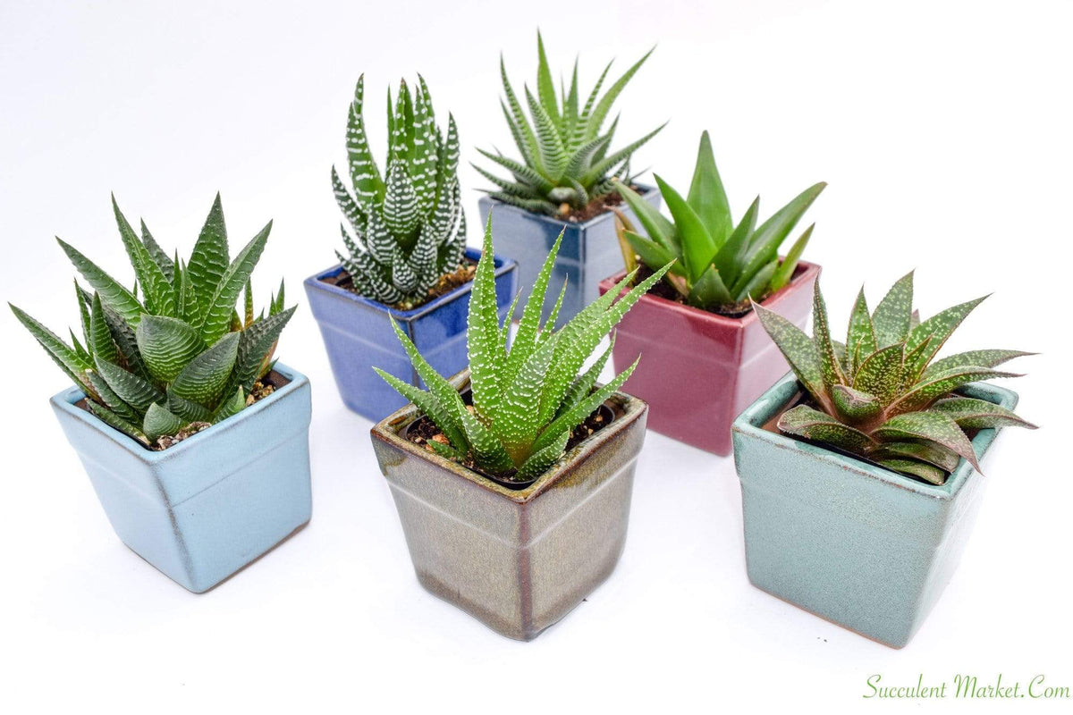 Assorted Low Light Succulents In 2 Inch Pots Shop