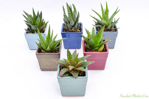 Assorted Low Light Succulents - 2 Inch Glazed Pots - 6 Pack