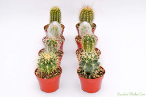 Assorted Cactus - 4 inch containers