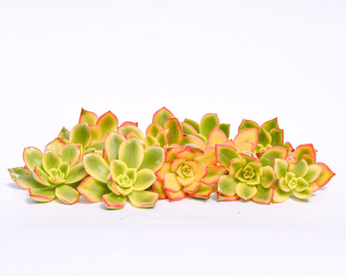 Aeonium Kiwi Succulent Cuttings 20 Pack