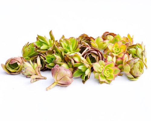 Aeonium Succulent Cuttings