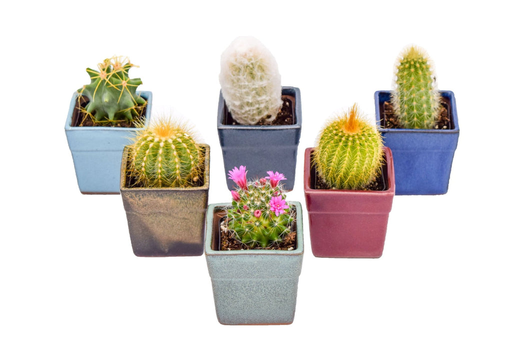 Assorted Cactus - 2 Inch Glazed Pots - 6 Pack