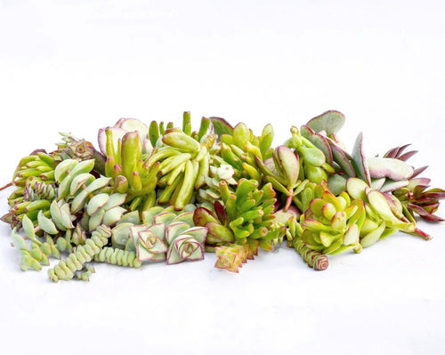Crassula Succulent Cuttings