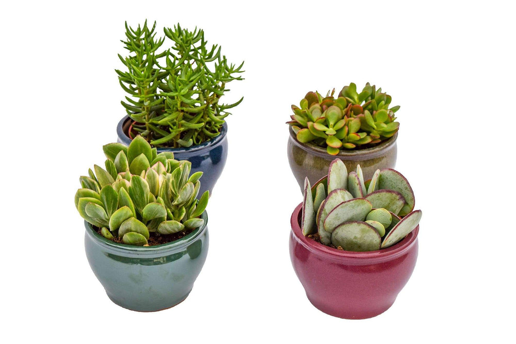 Crassula Set - 4 Inch Glazed Pots - 4 pack