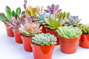 Assorted High Light Succulents - 4 Inch Containers