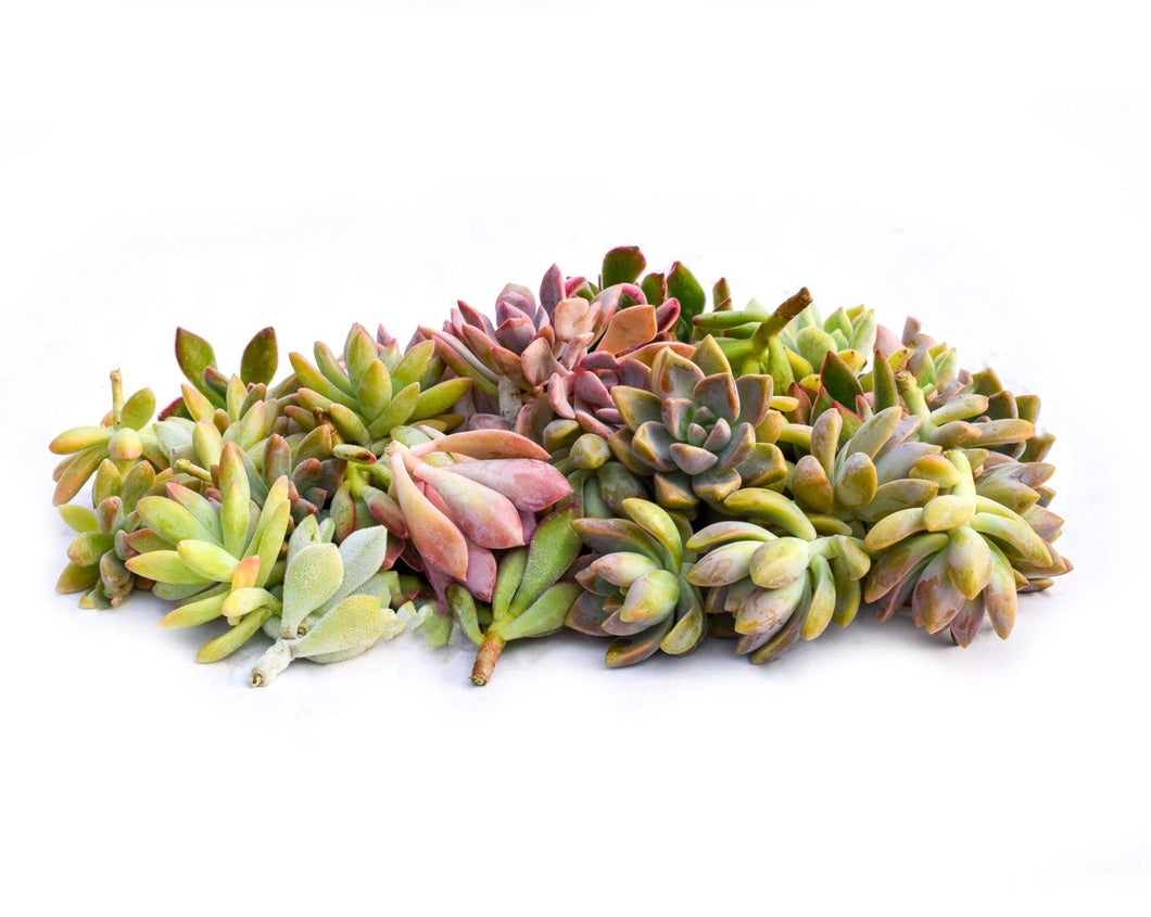 Echeveria (Rosette) Succulent Cuttings