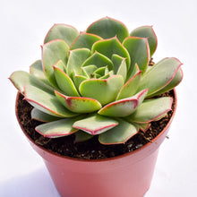 Echeveria Green Delight