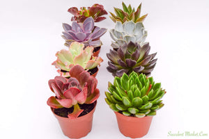Echeveria Set - 4 Inch Containers