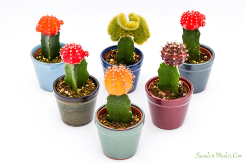 Graft Cactus - 3 Inch Glazed Pots - 6 pack