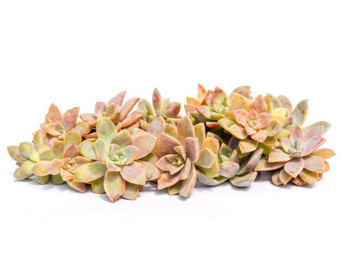 Graptopetalum Succulent Cuttings 20 Pack