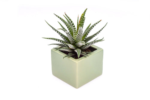 Haworthia Super White - 4 Inch Glazed Pot