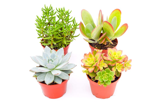 Colorful Succulents -  Assorted 4 Inch Containers