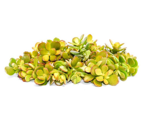 Jade Succulent Cuttings 20 Pack