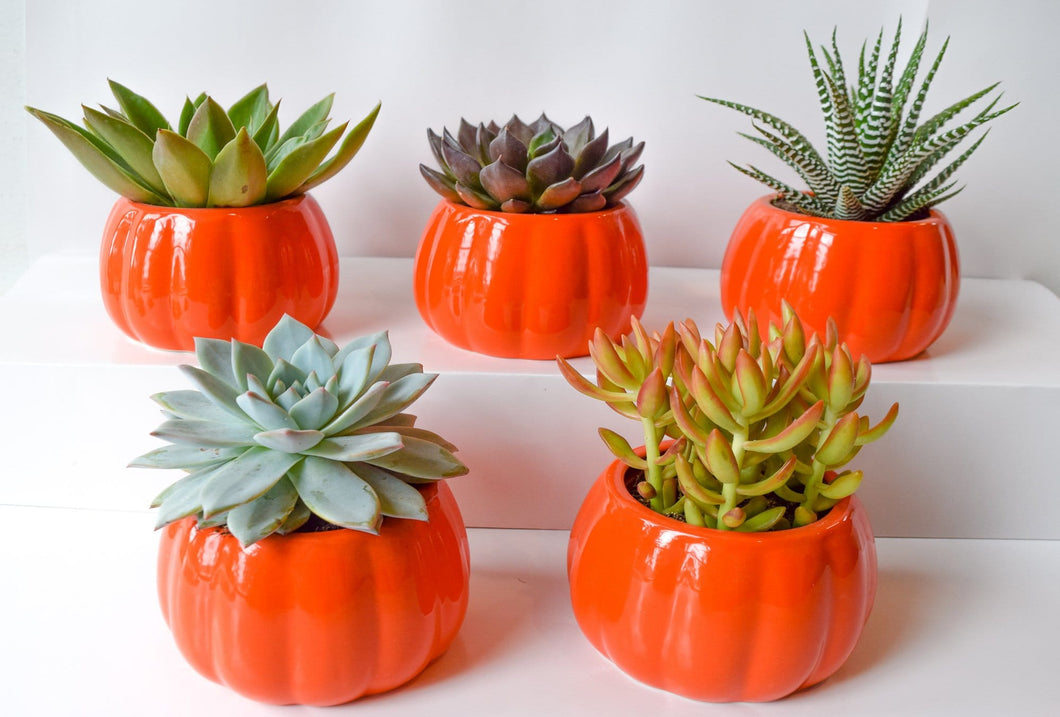 Harvest Pumpkin Succulents