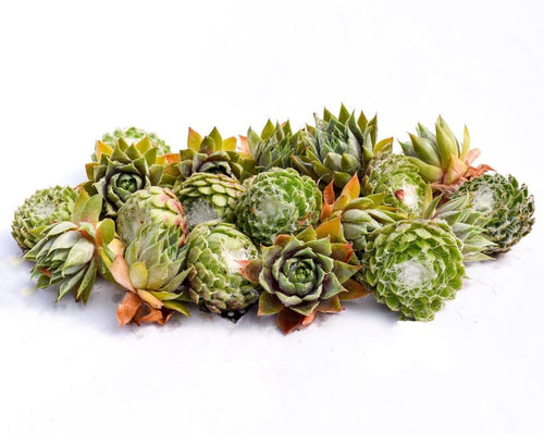 Sempervivum Succulent Cuttings