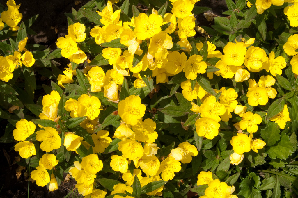 Make Your PMS Symptoms Go Away With Evening Primrose