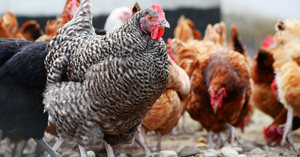 6 Reasons Our Premium Poultry Feeds Can't Be Beat