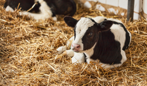 Overcoming Calf Health Issues