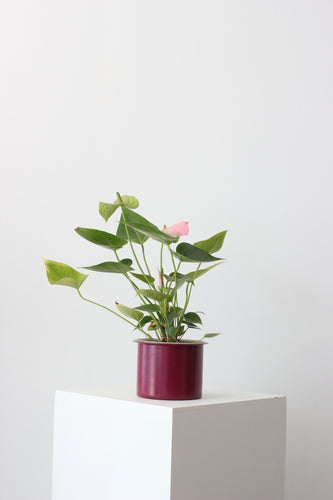 Anthurium Rosa - Hyiedra