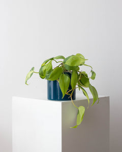 Philodendron Brasil - Hyiedra