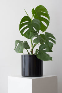 Monstera Deliciosa - Hyiedra