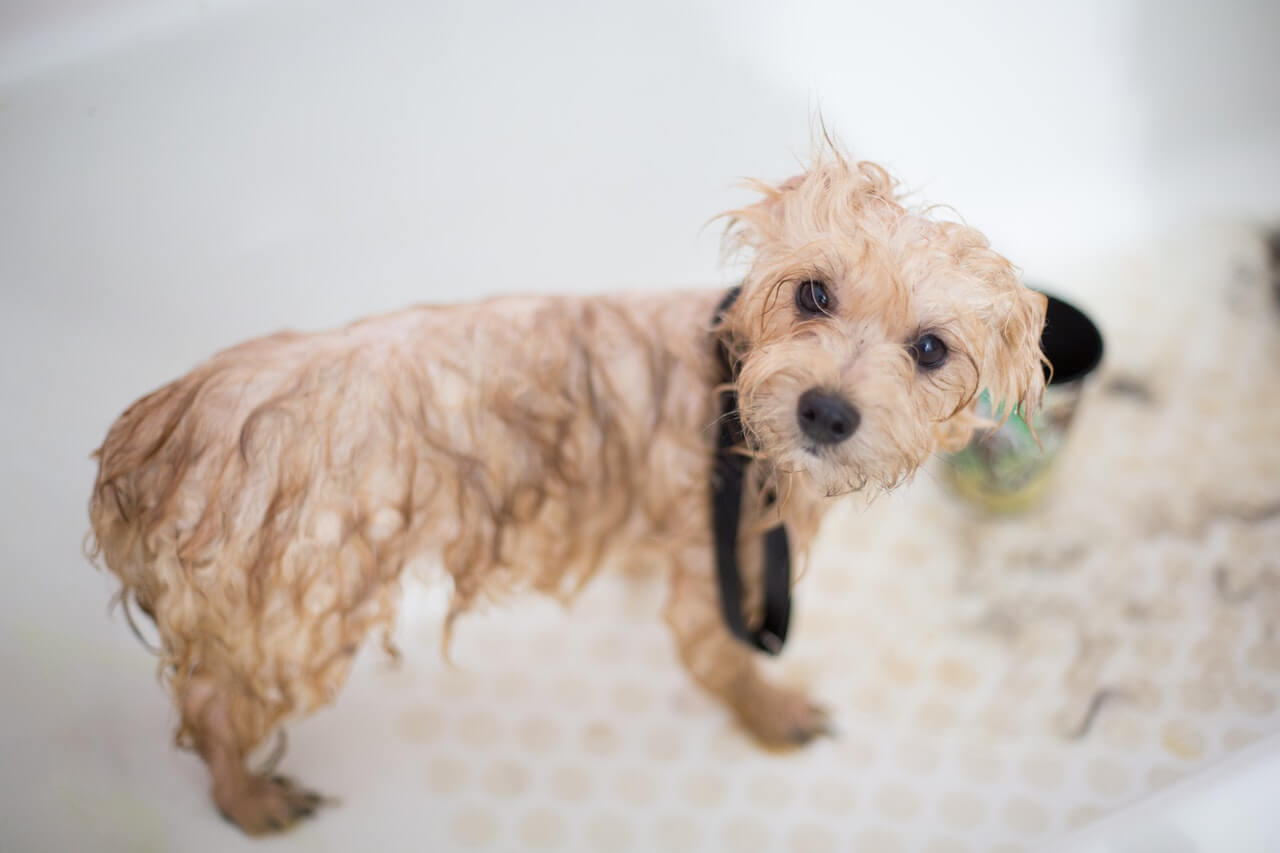 Give your pup a bath every month with a gentle shampoo and conditioner