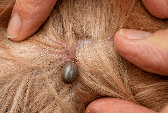 What do ticks look like on dogs