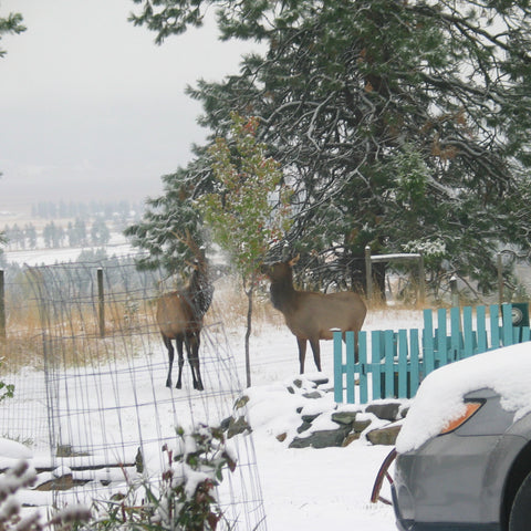 Two elk picking leaves off a small tree in a snowy landscape