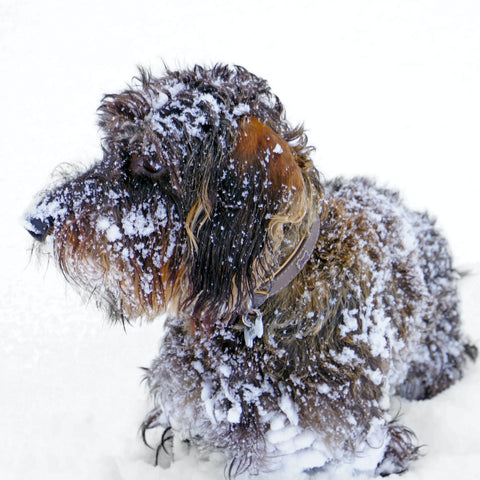 Shaggy dog in snow; photo by Boris Misevic