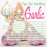 Tips for Planting & Growing Your Own Organic Garlic This Fall