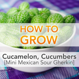 Everything You Ever Wanted To Know About Growing Cucamelons