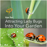 How To Attract Beneficial Ladybugs Into Your Garden