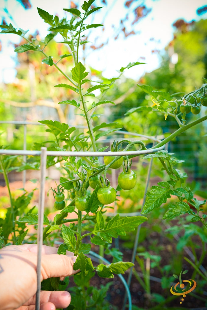 Spank Your Tomatoes! -Get More Fruit on Every Plant-