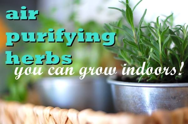 Top 4 air purifying herbs you can grow indoors - Herbs that can be grown indoors ...